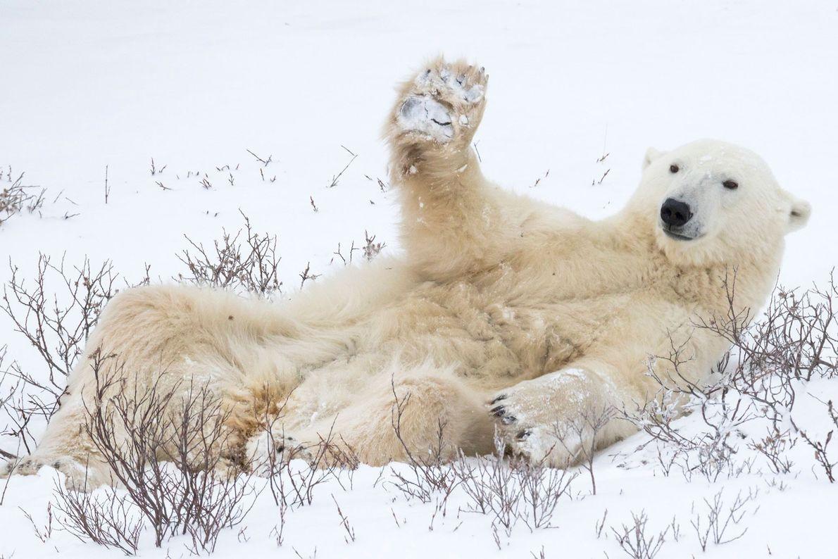 Sorriam e acenem, garotos. Um urso polar levanta sua pata no que parece ser uma saudação ...