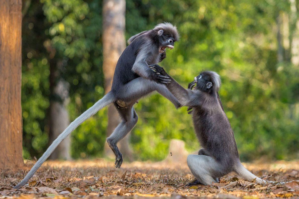 Ela gostou de mim primeiro! Dois gibões em Kaeng Krachan, Tailândia, travam uma batalha épica.