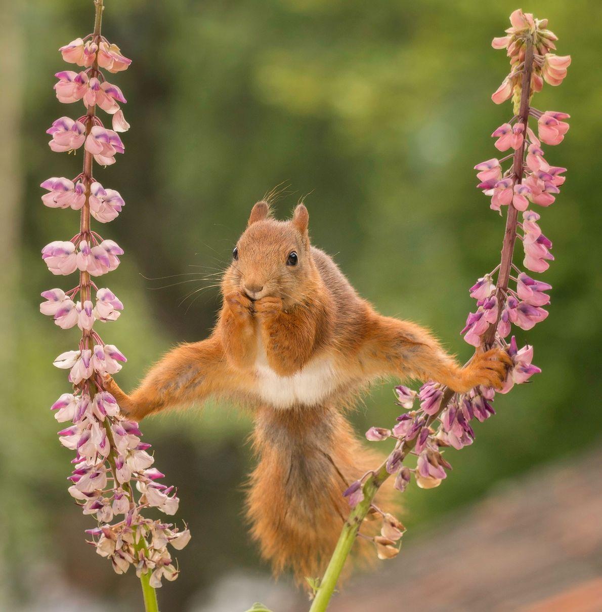 Anos de aulas de ginástica finalmente valeram a pena para um esquilo-vermelho na Suécia.