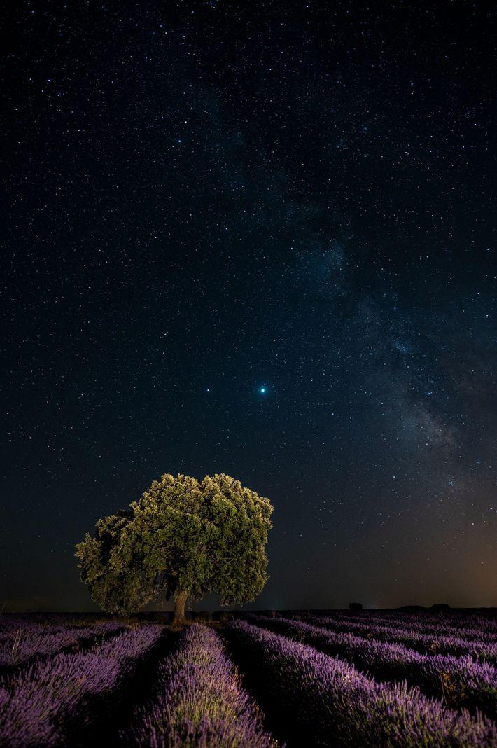 Júpiter e Saturno reluzentes em uma noite clara de julho sobre um campo de lavanda perto ...