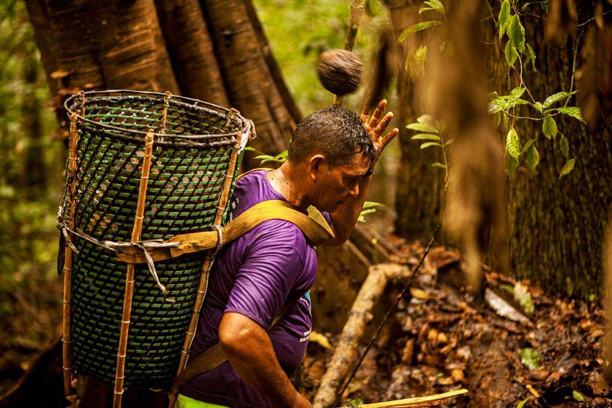 Extrativista recolhe castanhas na Reserva de Desenvolvimento Sustentável do Rio Iratapuru, Amapá. Os castanheiros passam dias ...