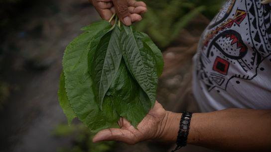 O pajé Diakara Desano, da etnia desano, segura folhas que usará para fazer chá e tratar os ...