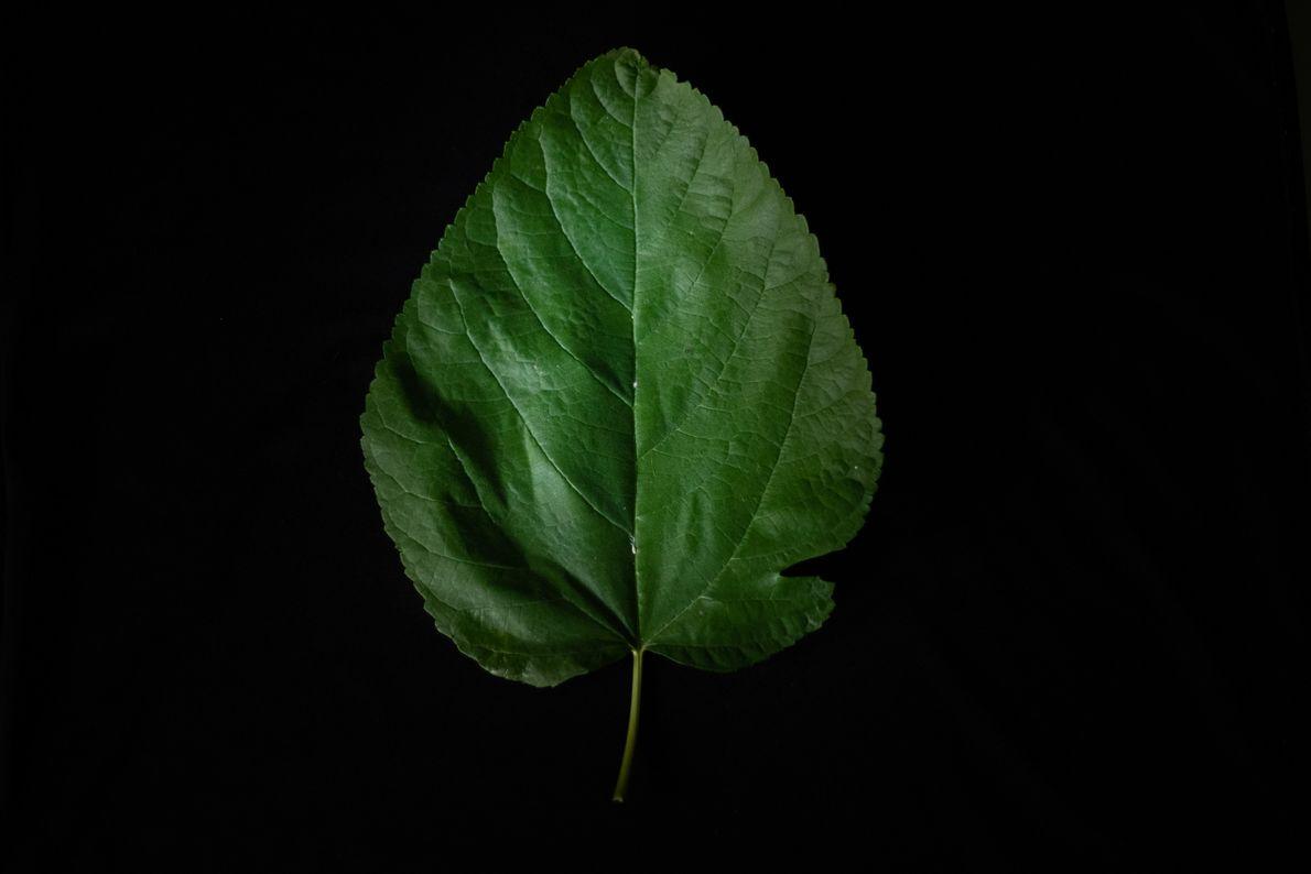 Folha de amora trata para infecções, gastrite e dores de estômago, barriga e cabeça.