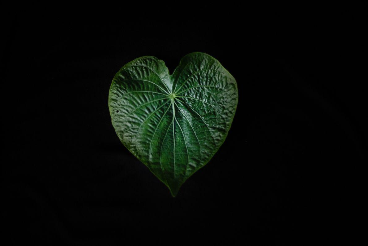 A folha de capeba tem propriedades parecidas com as da saratudo – trata infecções, feridas, fígado, ...