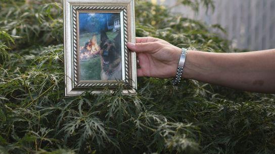 Allison Mahoney segura uma foto de seu pastor-alemão de sete anos, Buddy, em sua casa em ...