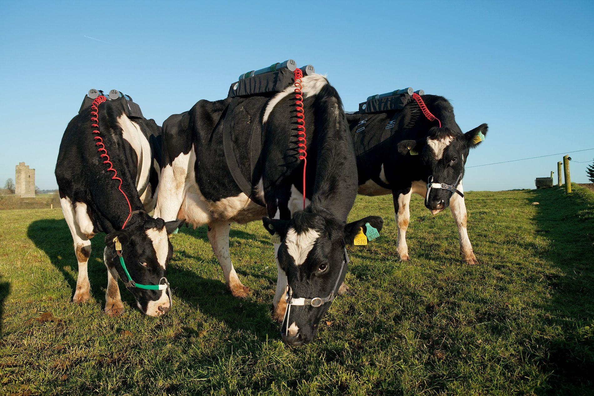 Medição do metano produzido por vacas alimentadas com capim em Fermoy, no Condado de Cork, na ...
