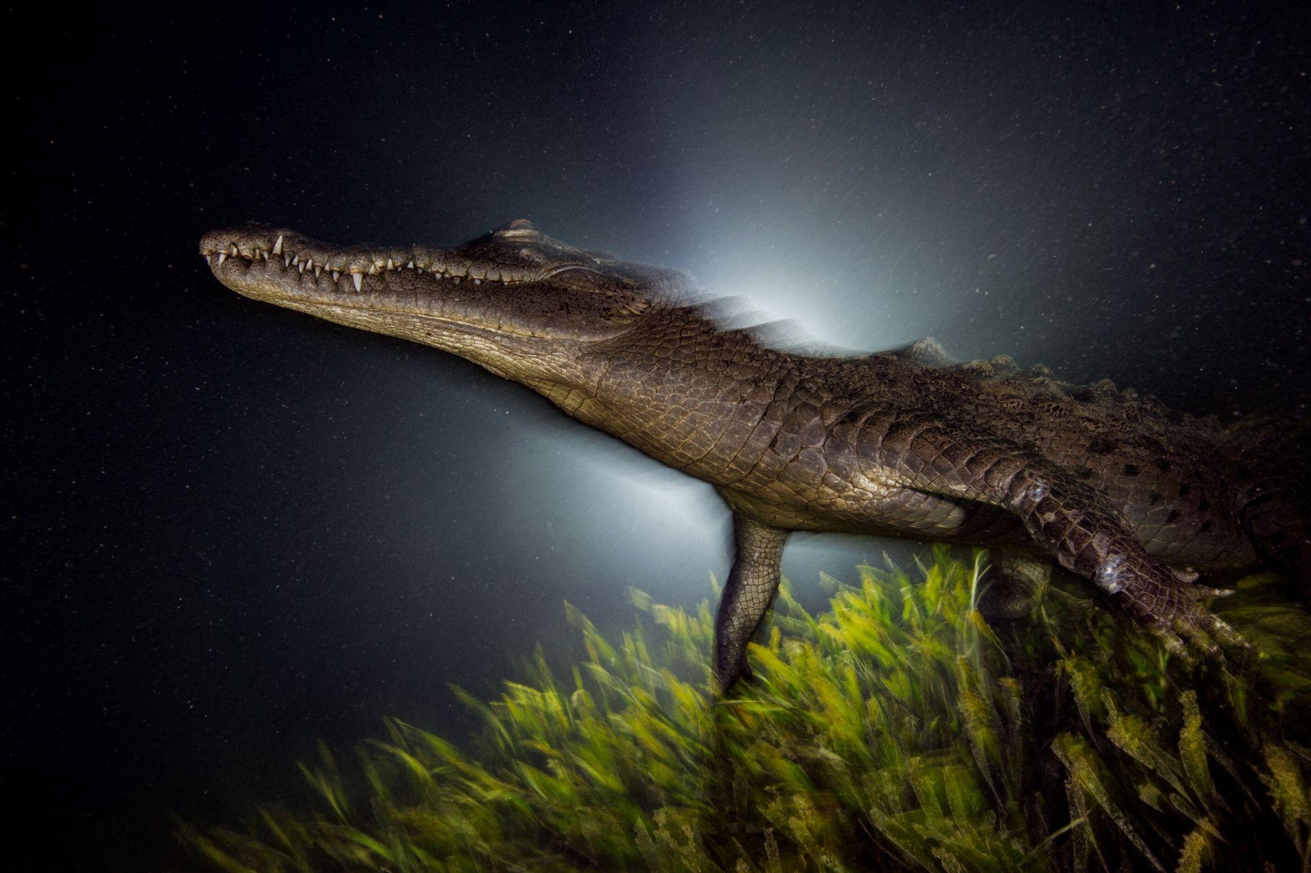 Submerso, um crocodilo-americano desperta do cochilo no começo da noite em um leito de vegetação marinha, ...