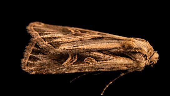 Joel Sartore fotografou a mariposa da espécie Dichagyris longidens em setembro de 2020, próximo a Santa ...