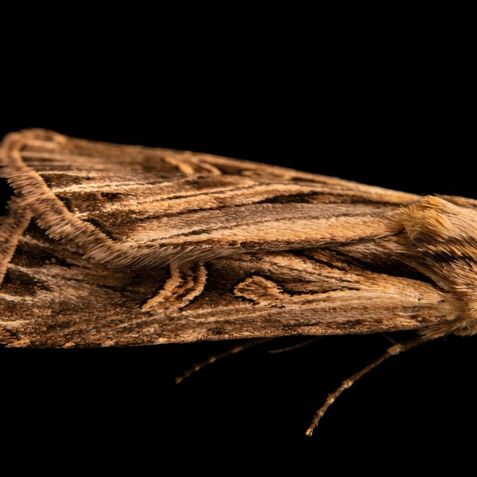 Mais de 130 anos após ser descoberta, esta mariposa foi finalmente fotografada viva