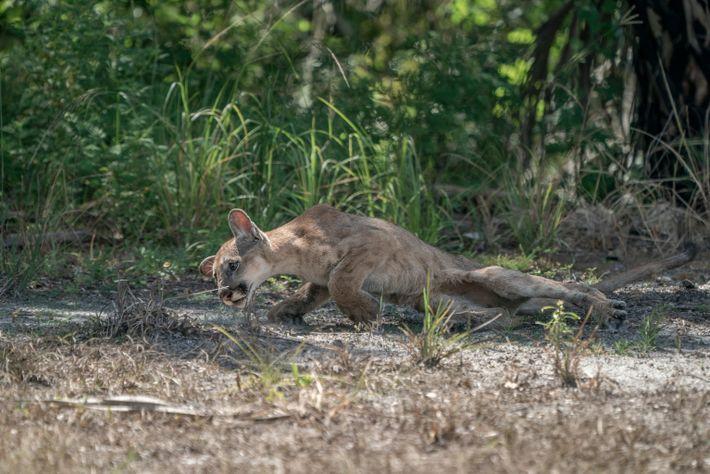 Um filhote de pantera-da-flórida macho tenta se levantar depois de perder o controle de suas patas ...