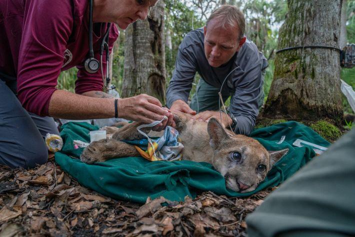 A veterinária Lara Cusack e o biólogo Mark Lotz coletam amostras de sangue de um filhote ...