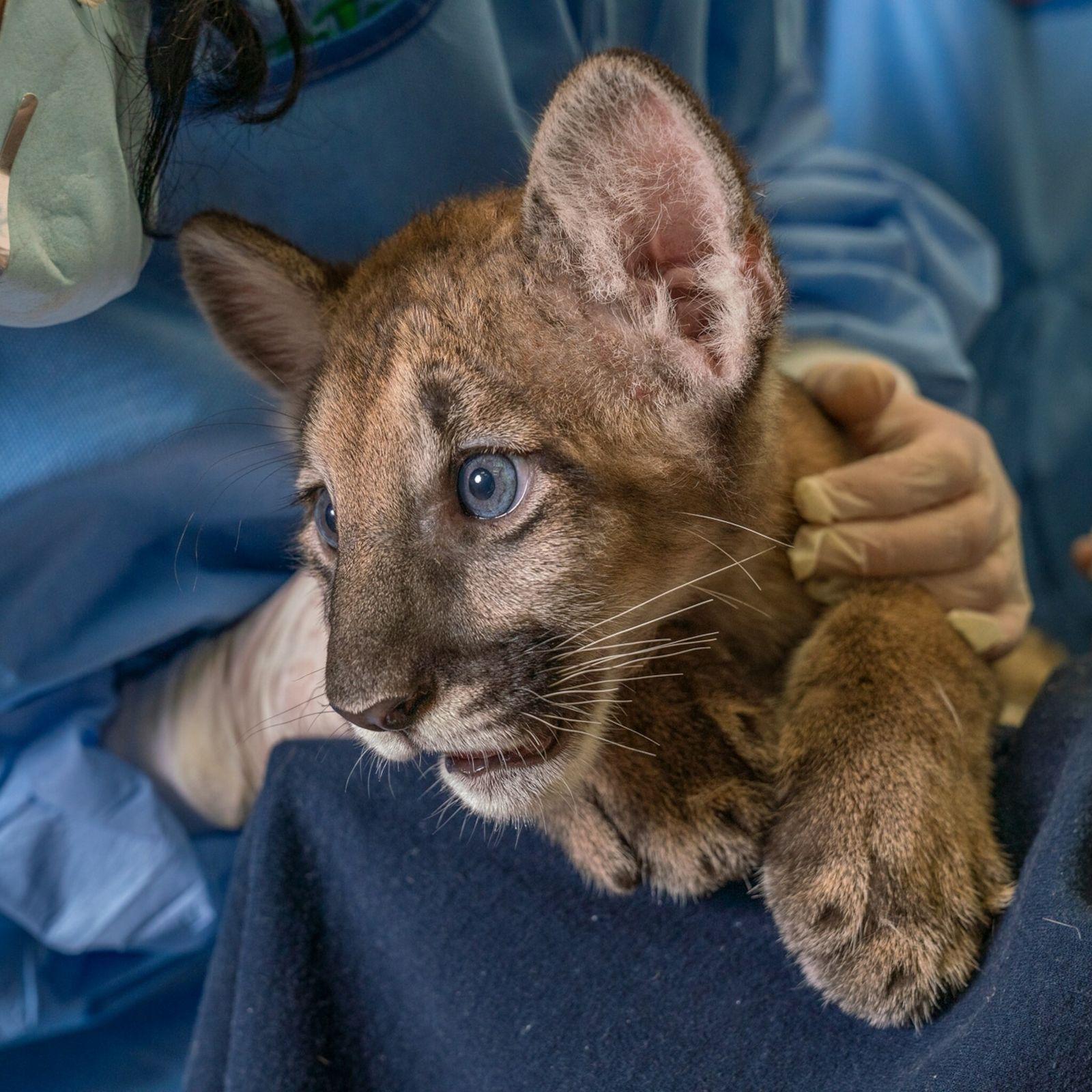Um filhote de pantera-da-flórida nascido de uma mãe com leucomielopatia felina (FLM, na sigla em inglês), ...