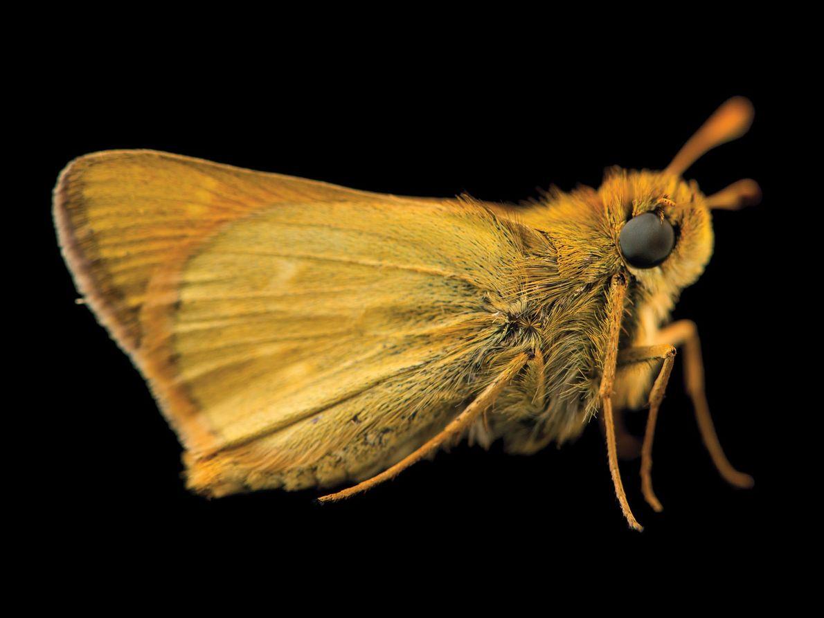 Borboleta da espécie Hesperia dacotae (vulnerável)