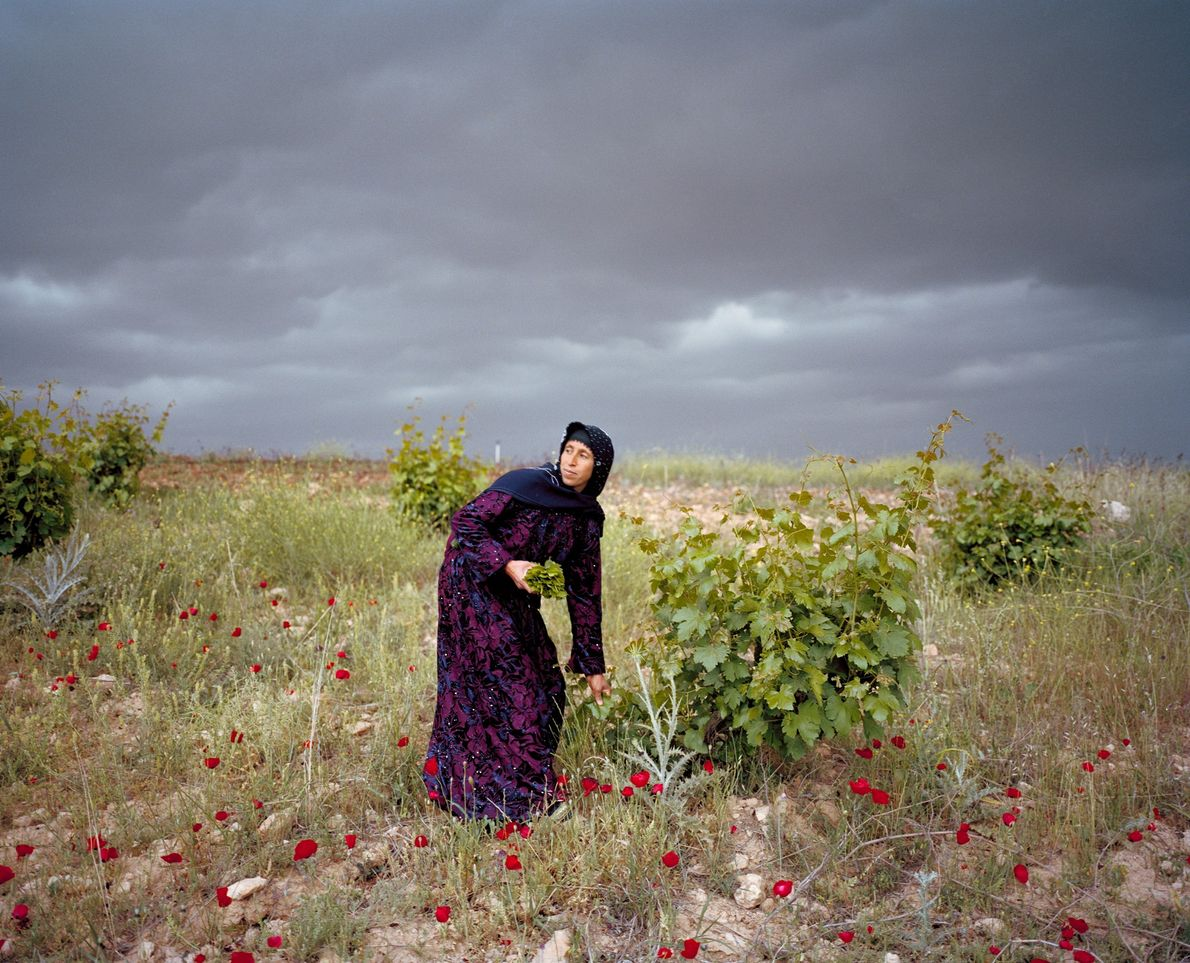 Leyla Sonkuş colhe folhas de parreira na planície de Harran, no sul da Turquia, não muito ...