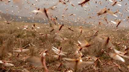 Praga de gafanhotos assolou a África Oriental – combatê-la com agrotóxicos traz novos problemas