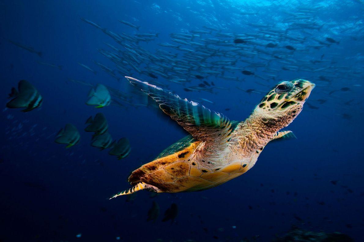 Uma tartaruga-de-pente nada com cardumes de peixes-morcego e barracudas em Kimbe Bay, Papua-Nova Guiné. Papua-Nova Guiné, …