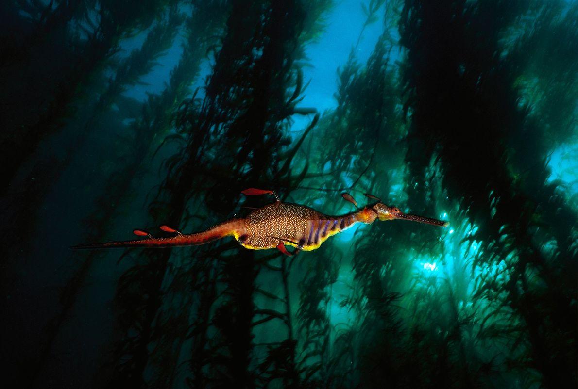 Um dragão-marinho-folhado nada em uma floresta de algas nas águas temperadas da Tasmânia. Essas criaturas extravagantes ...