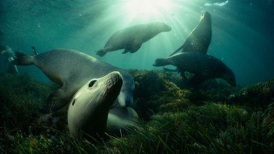 Leões marinhos australianos brincam em uma cama de algas perto de Hopkins Islands no Golfo Spencer, ...