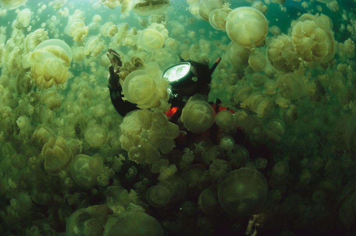 O biólogo marinho William Hammer surge em meio a uma nuvem densa de águas-vivas sem veneno ...