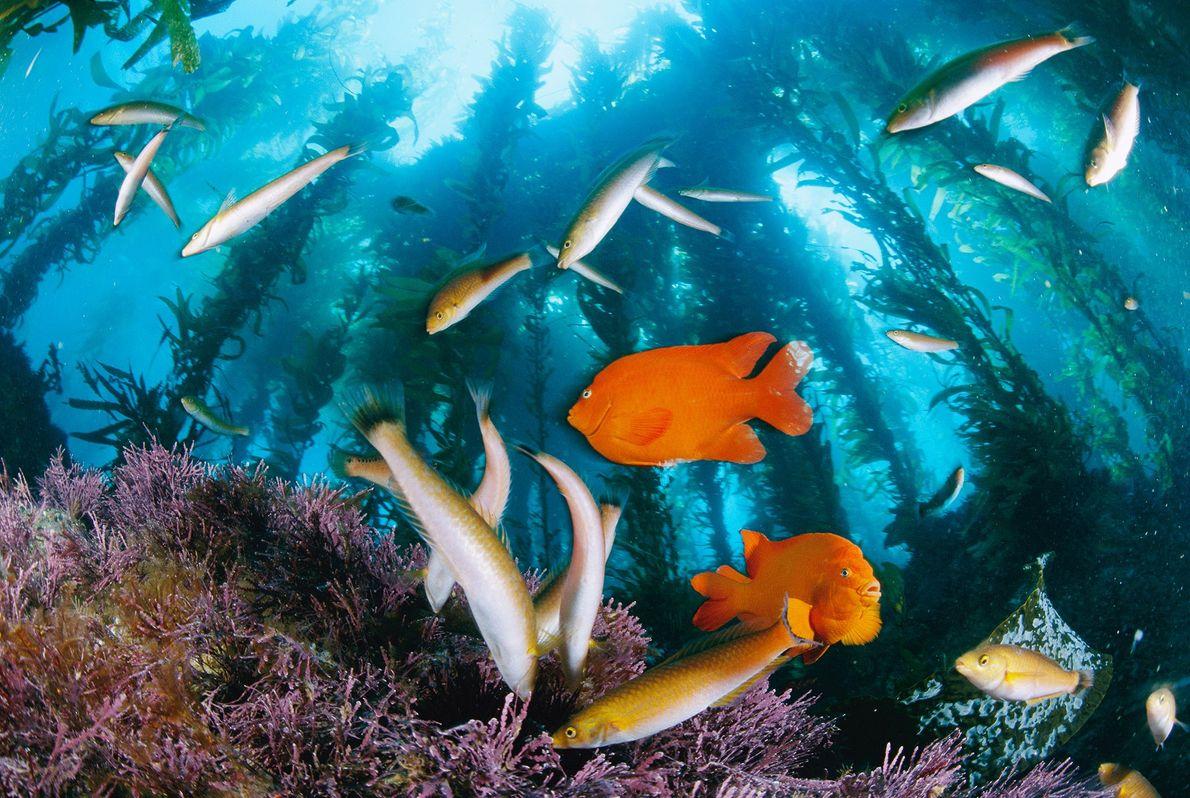 Peixes coloridos Garibaldi e señorita forrageiam sob as florestas de algas em Anacapa Island no Santuário ...