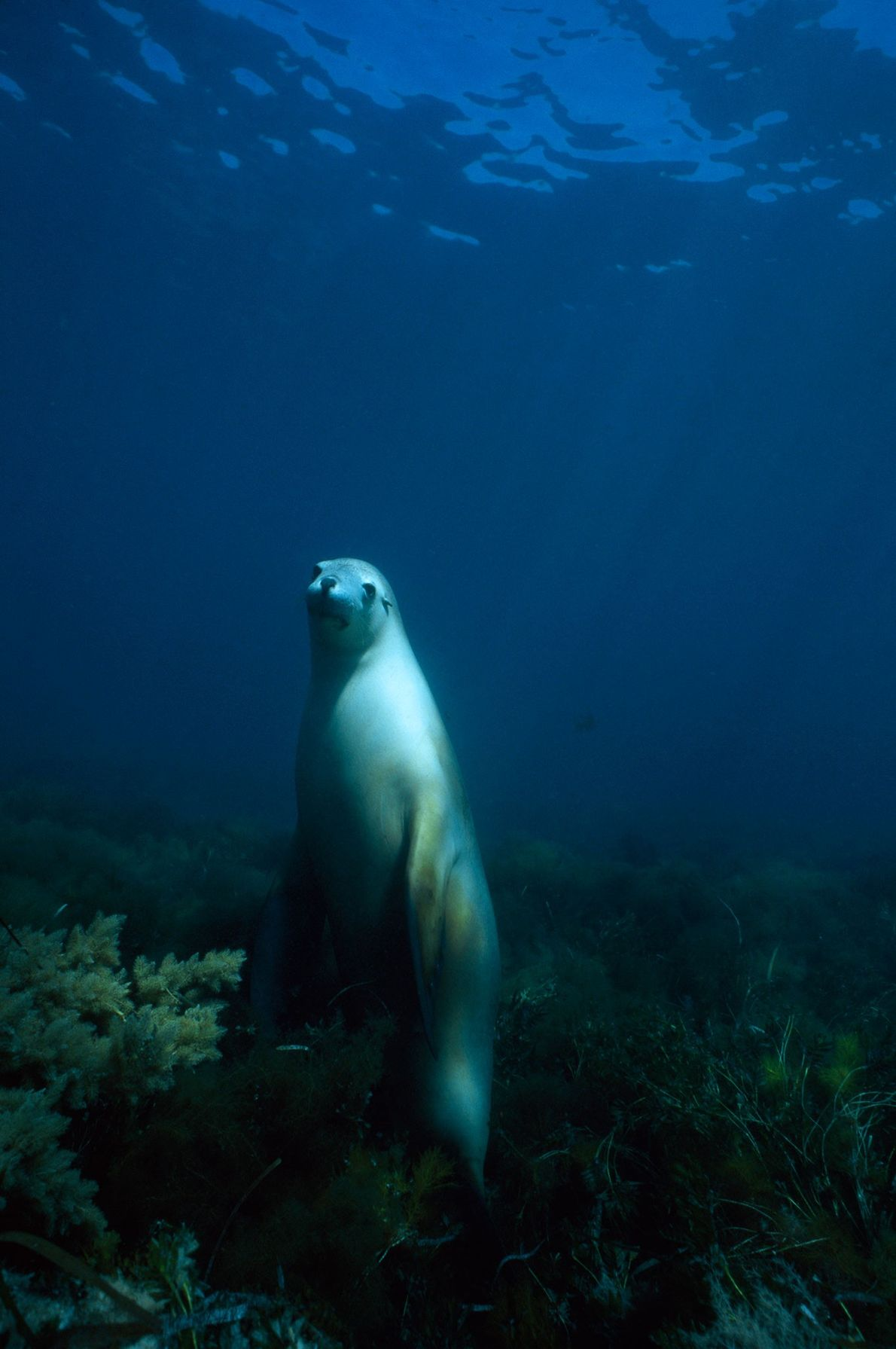 Uma fêmea de leão marinho australiano espreita através do mar perto de Hopkins Island no Golfo ...