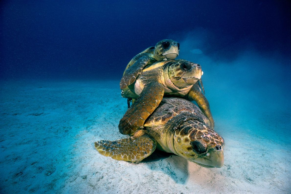 Um trio de tartarugas-comuns ameaçadas acasalam no fundo do mar perto de Key Largo na Santuário ...