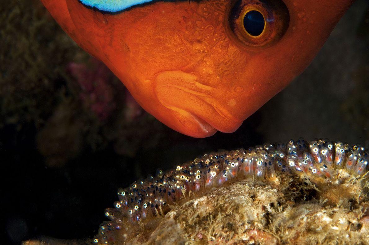 Um peixe palhaço macho protege agressivamente sua ninhada de ovos em Anilao, Filipinas. Os machos arejam ...