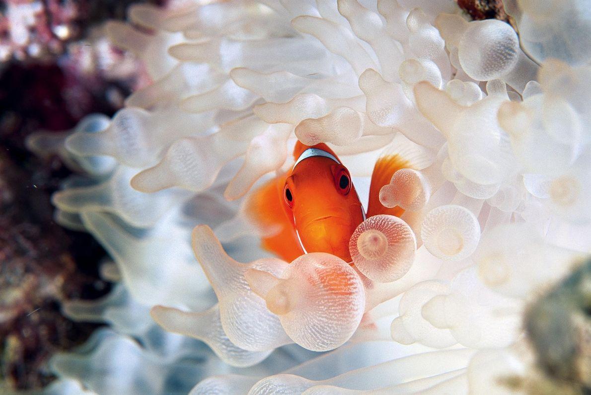 david-doubilet-21-peixe-palhaco