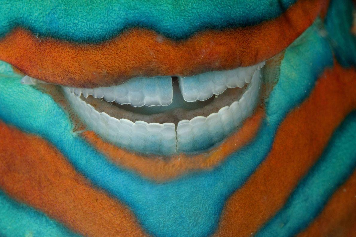 Um peixe-papagaio exibe dentes quase perfeitos enquanto dorme sob uma borda de coral perto de Heron ...