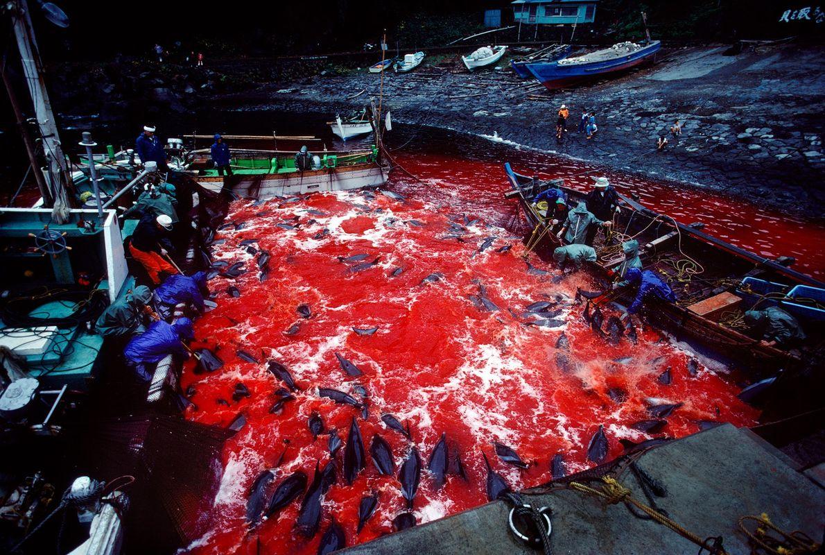 Pescadores assassinam sistematicamente golfinhos selvagens que foram levados até o Porto Futon na Península de Izu ...