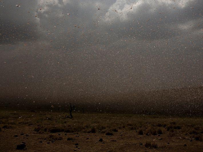 locust-swarm-09