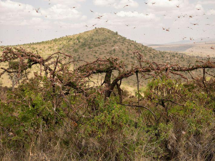 locust-swarm-07