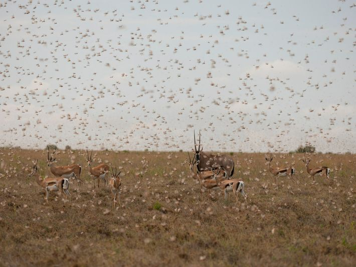 locust-swarm-05