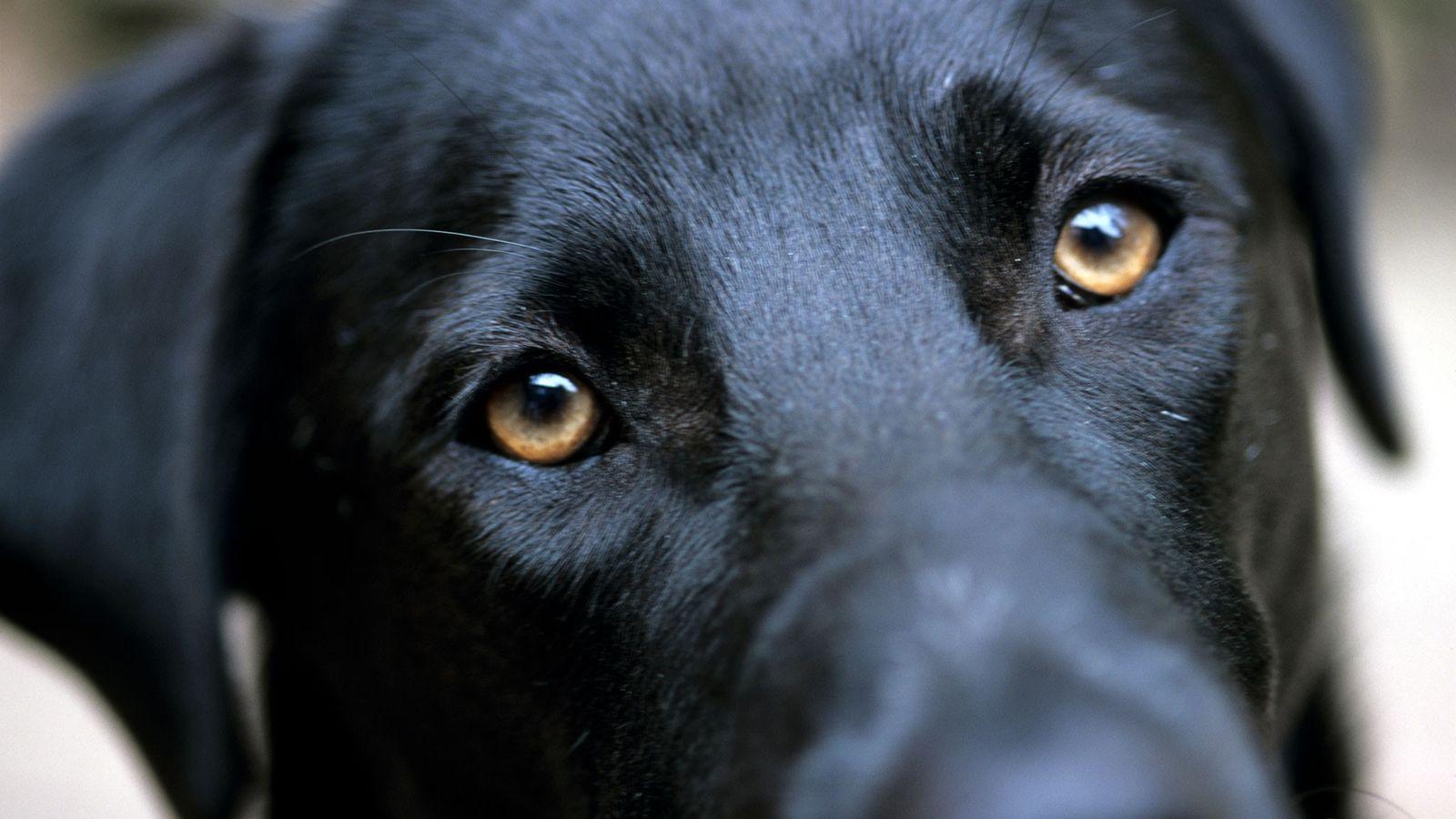 """Um labrador retriever expressa o que chamamos comumente de olhar """"olhar de cachorrinho pidão""""."""