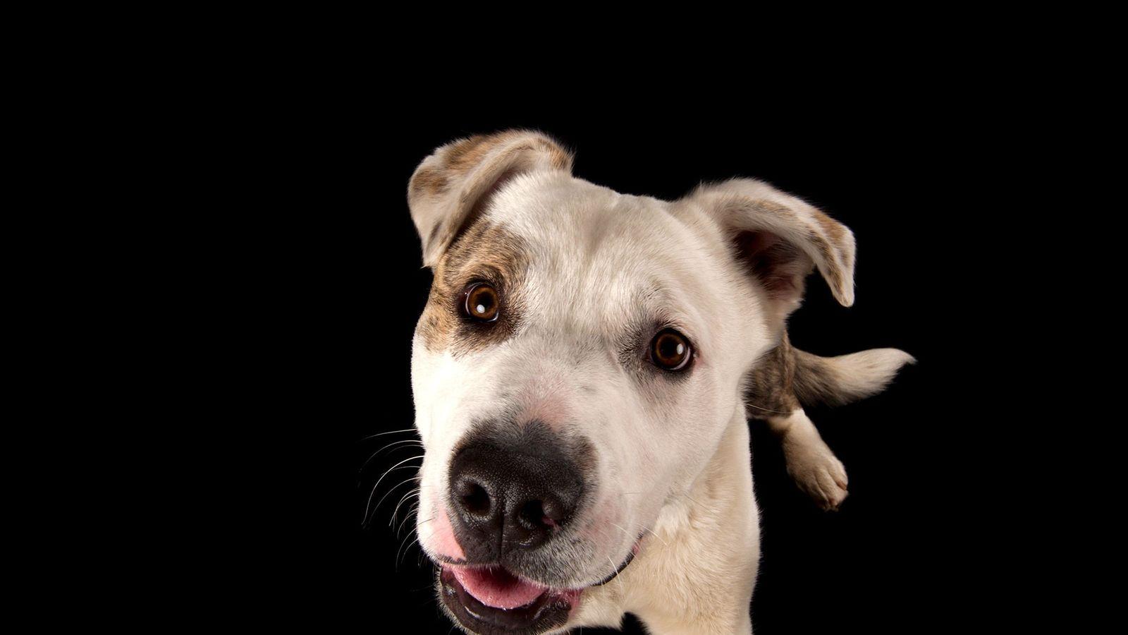 cão de raças misturadas akita e pitbull