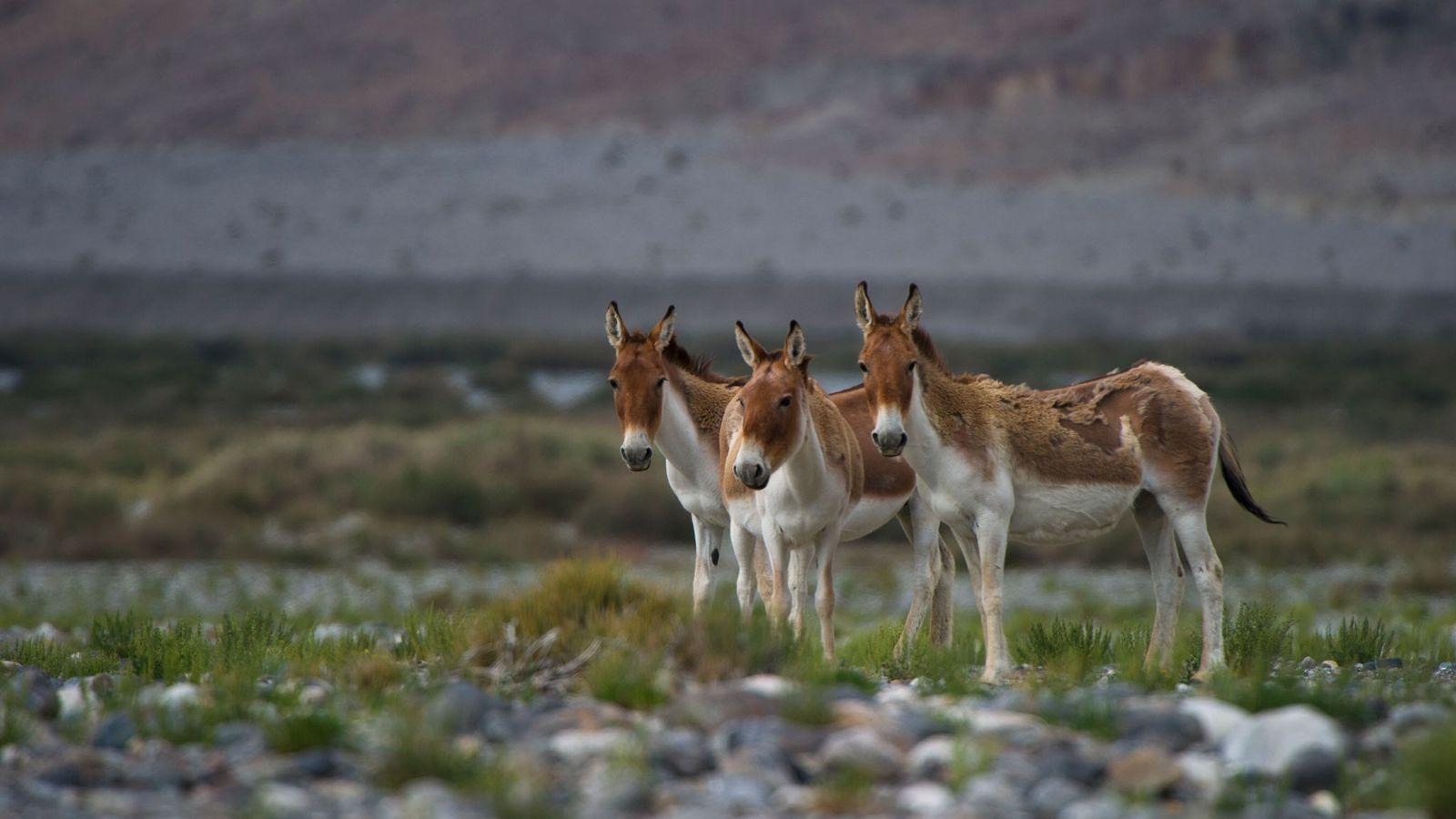 Apesar de os jumentos, como esses no deserto de Taklamakan, na China, não serem geralmente conhecidos ...