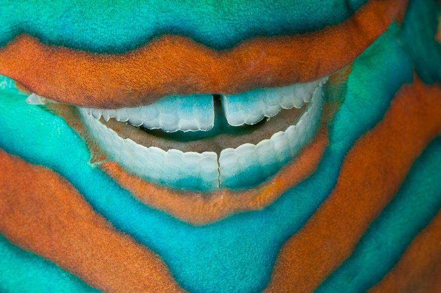 Fotografava na Ilha Heron, na Grande Barreira de Corais quando passei por um peixe-papagaio dormindo que parecia sorrir com dentes incrivelmente brancos. Eles usam os dentes para morder e moer pedaços grandes de coral, que produzem uma fina areia branca. Lembrei do meu dentistas quando fotografava esse sorriso.