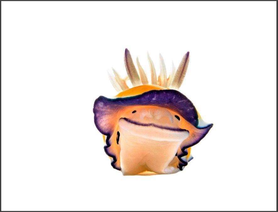 """Um nudibrânquio Chromodoris parece sorrir para a câmera no mini estúdio subaquático que criei para fotografar essas tóxicas lesmas-do-mar. As cores brilhantes advertem os predadores: """"me coma e você morre"""". O pequeno estúdio foi montado em um tripé e levado para onde os nudibrânquios viviam."""