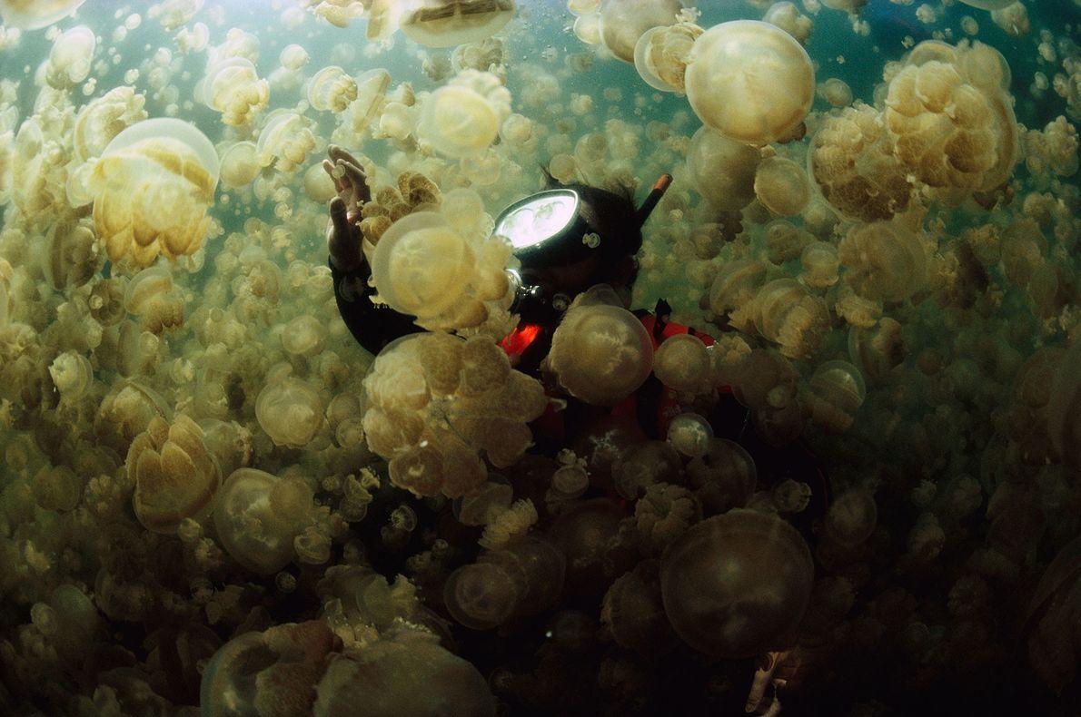 O Dr. William Hamner se enfia em uma camada de águas-vivas Mastigias no Lago Jellyfish, um ...