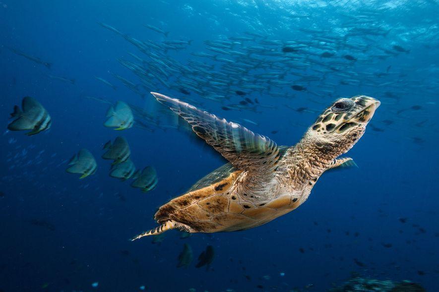 Uma tartaruga-de-pente nada em um mar de barracudas e peixes-morcego na Baía Kimbe, Papua-Nova Guiné. A tartaruga nos encontrou quando entramos na água e nadou conosco durante toda o mergulho, descansando nos nossos tanques depois de cansar de nadar.