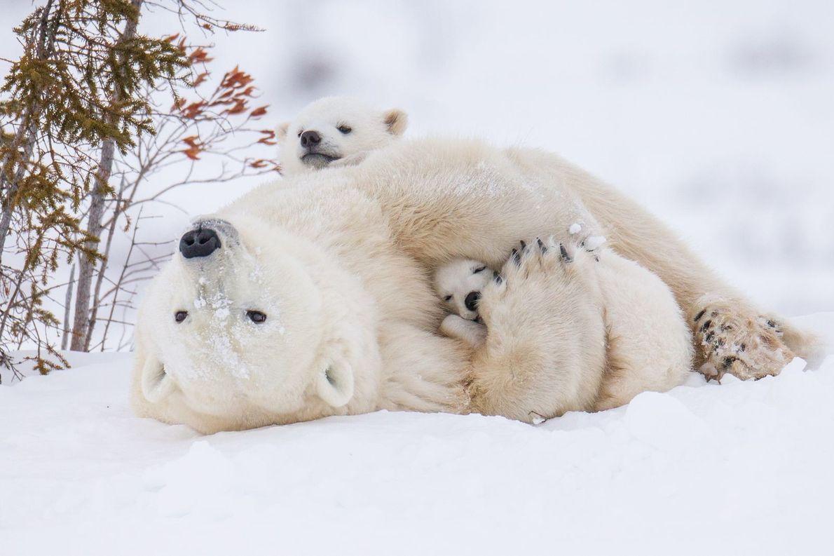 Foto de ursos polares