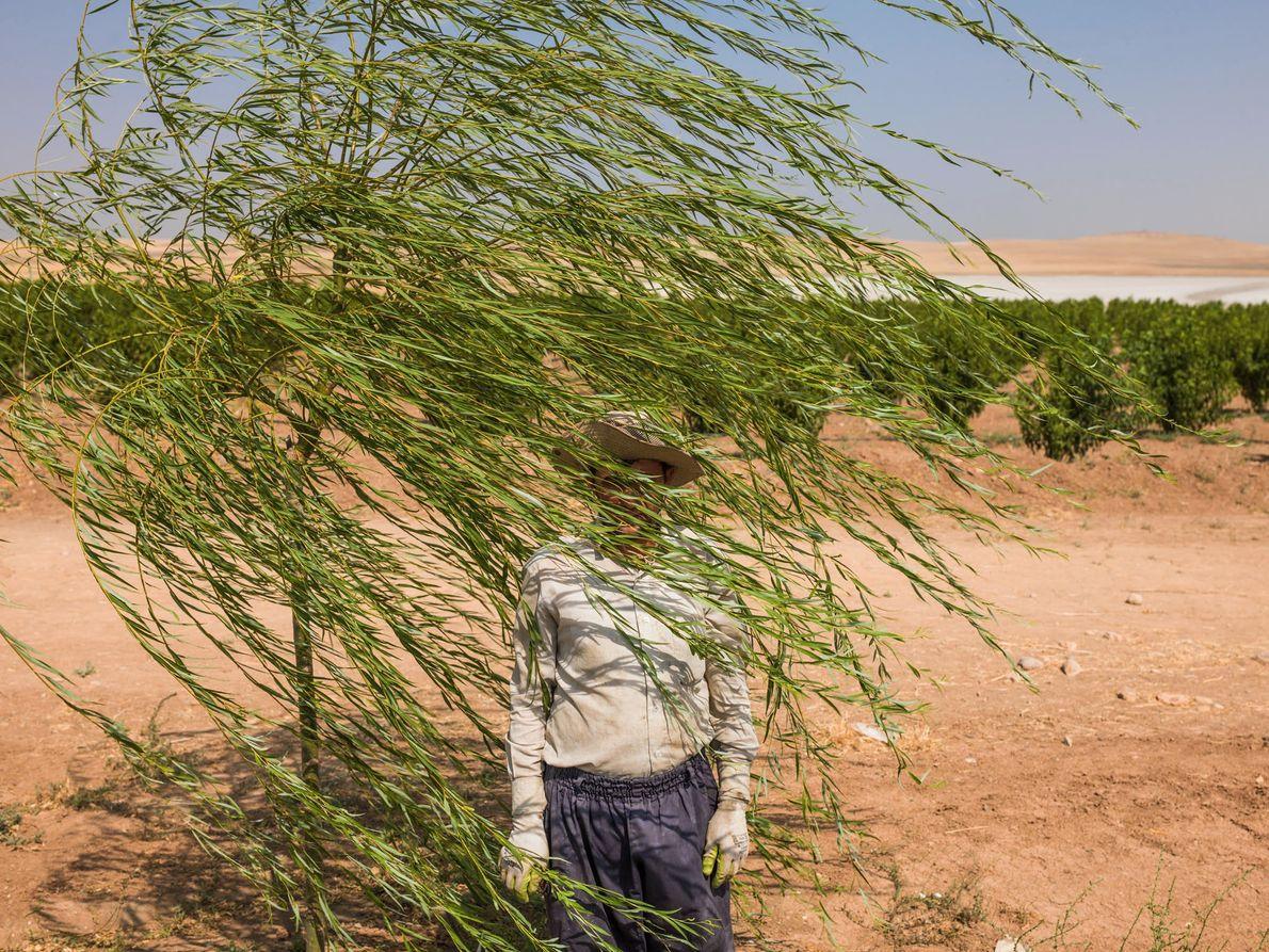 Reza Manafzadeh trabalha em uma fazenda de árvores frutíferas às margens do Lago Úrmia, no Irã, ...