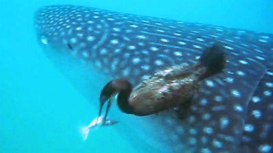 Ave pescadora é flagrada arrancando peixe de tubarão-baleia