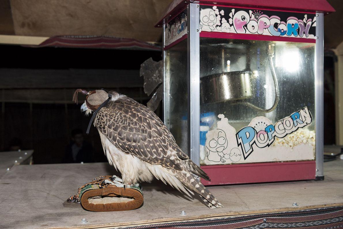 Um falcão e uma pipoqueira apoiam-se lado a lado em uma bancada em um acampamento turístico ...