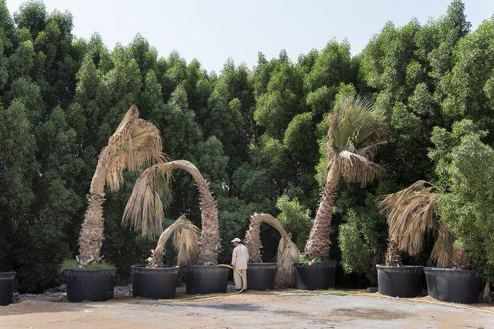 Um jardineiro rega as palmeiras já murchas em um estacionamento.
