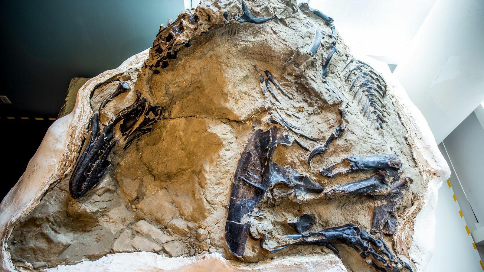 Em 2006, caçadores de fósseis comerciais encontraram este tiranossauro impressionante e quase completo ao lado dos ...