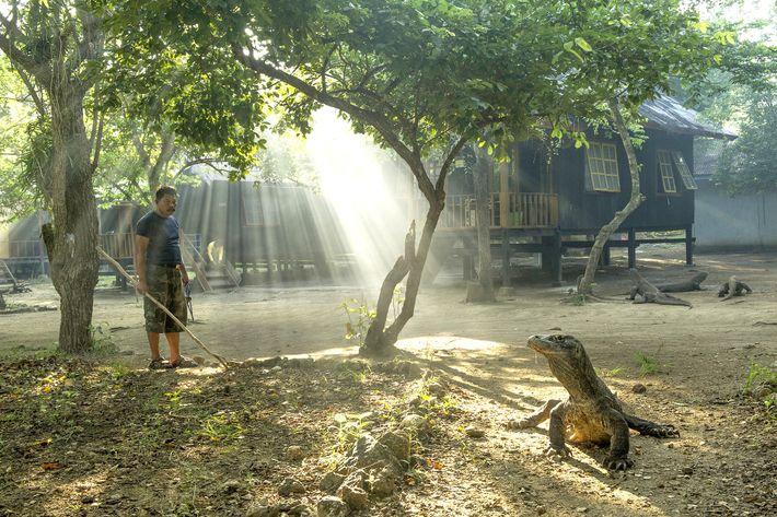 Um dragão-de-komodo toma seu banho de sol no Parque Nacional de Komodo. Esses raros répteis são ...