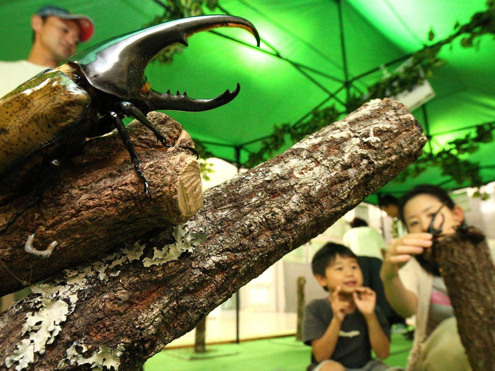Os besouros-hércules, como este em uma exposição de insetos no ano passado no Museu de Ciências ...