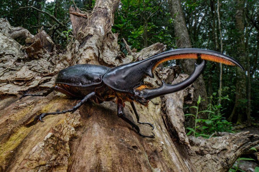 Os besouros-rinoceronte, como o besouro-hércules na Costa Rica, ajudam a manter os ecossistemas florestais saudáveis. Os ...