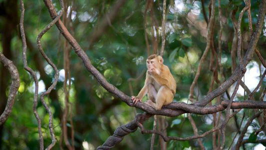 Macacos ainda são forçados a colher cocos na Tailândia, apesar de polêmicas